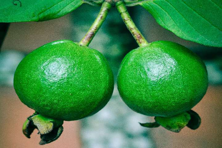 guava fruit dream meaning